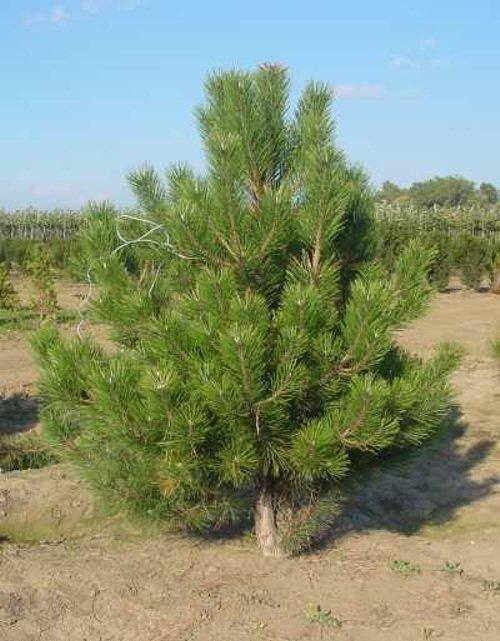 Оптовая продажа саженцев и лиственных деревьев