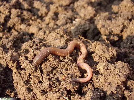Землянные черви