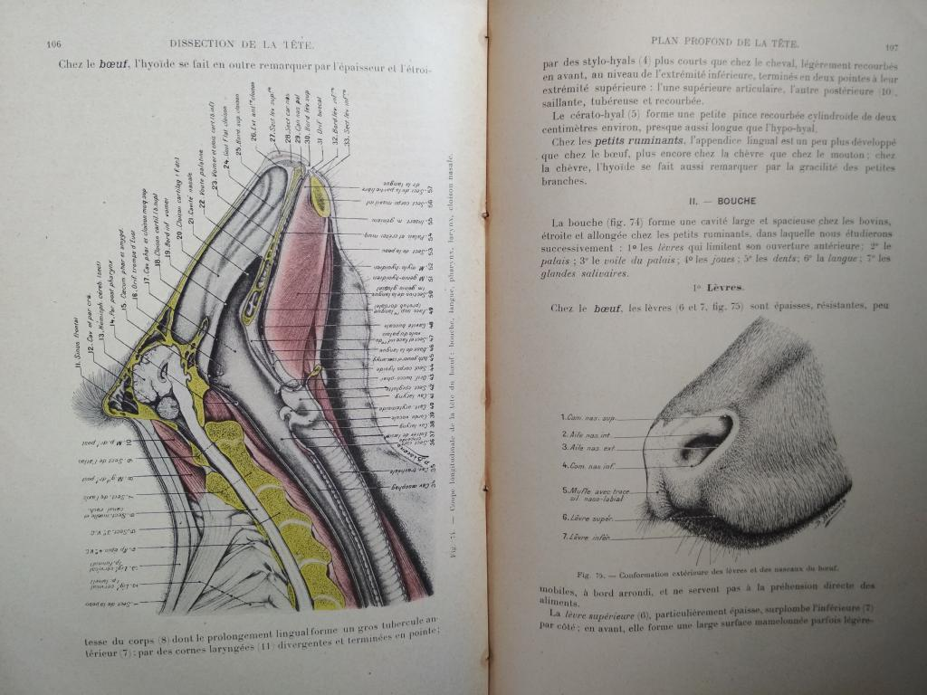 Книга антикварная Anatomie regionale des Animaux Domestiques. II Ruminants. 1917