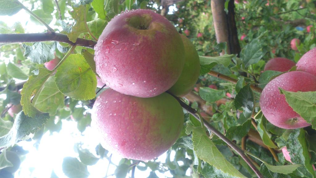 Яблоки сорта Апорт.